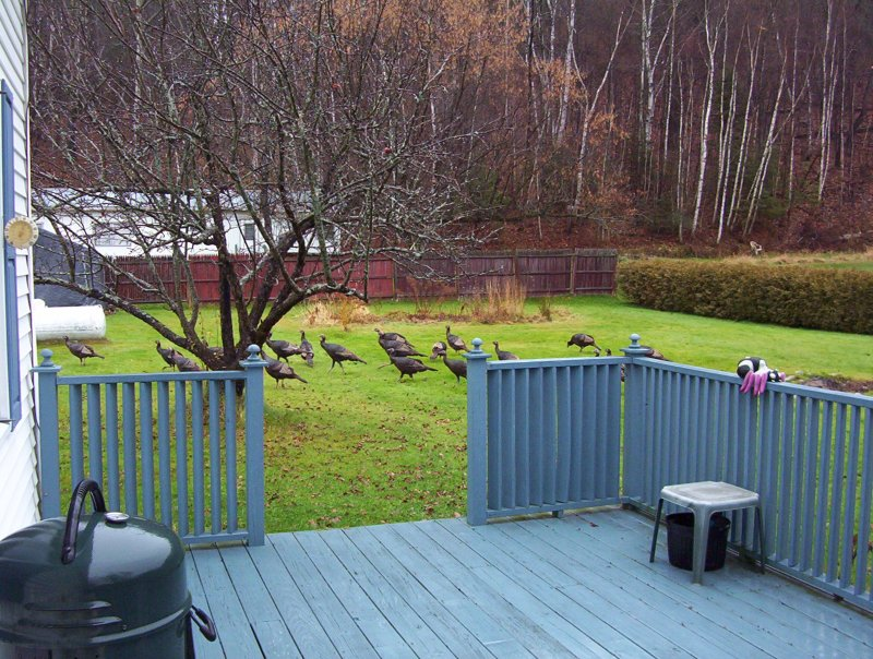 Wild Vermont Turkeys