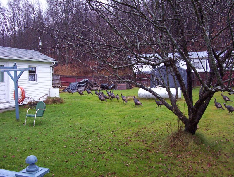 Wild turkeys in Vermont