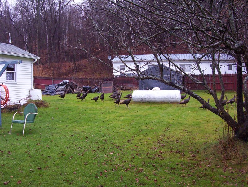 Wild turkeys of Vermont